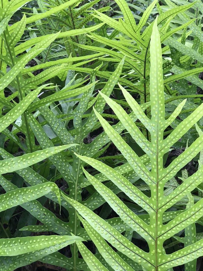 Crescimento grosso de Fern Leaves em uma floresta tropical imagens de stock royalty free