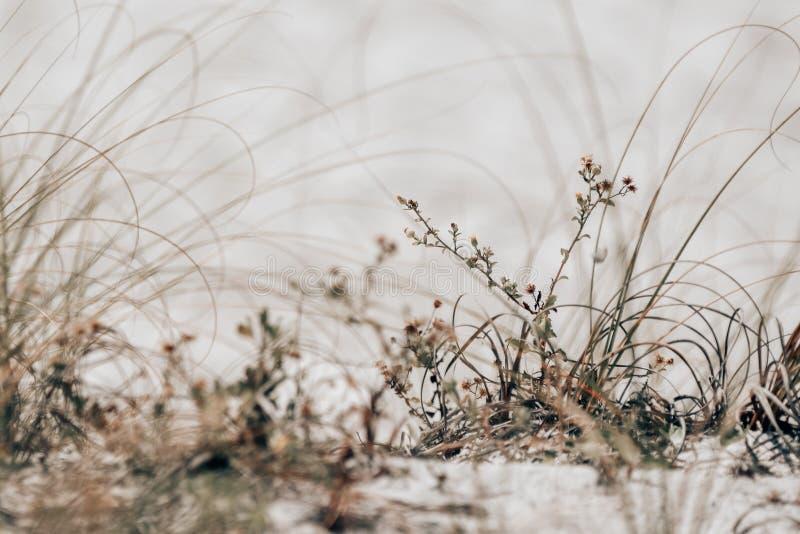 Crescimento nas dunas das praias do golfo foto de stock royalty free