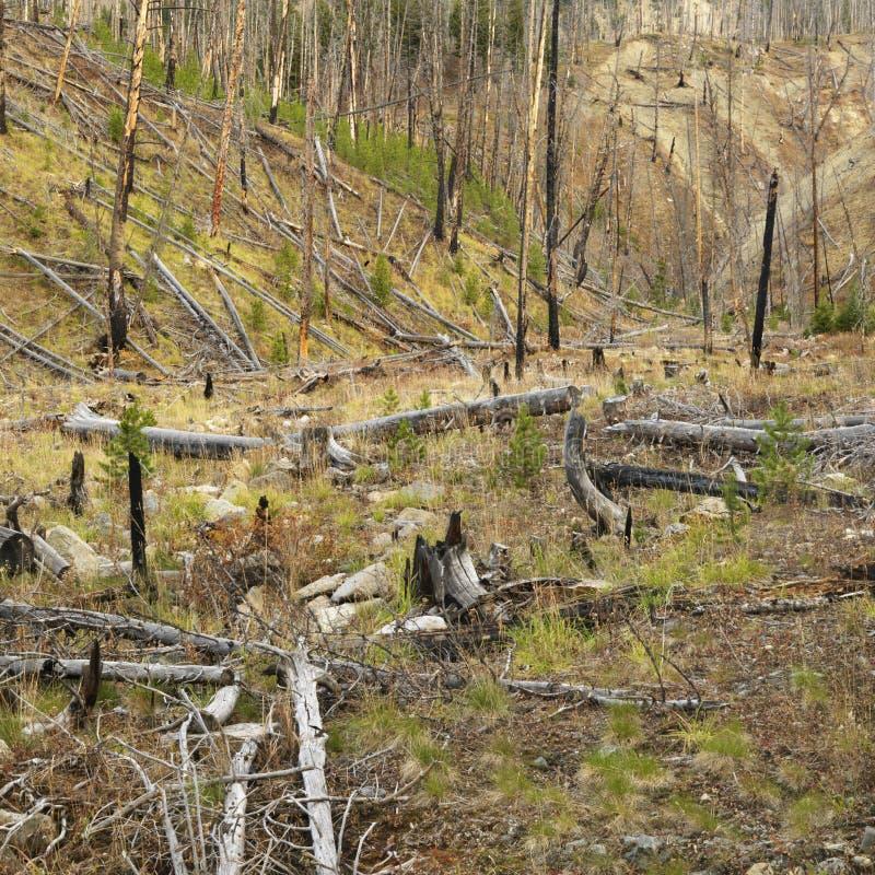 Crescimento novo após o incêndio florestal. imagem de stock royalty free