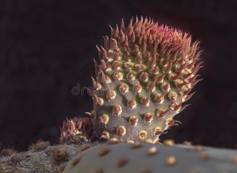 Crescimento novo em uma planta do cacto de Beavertail foto de stock