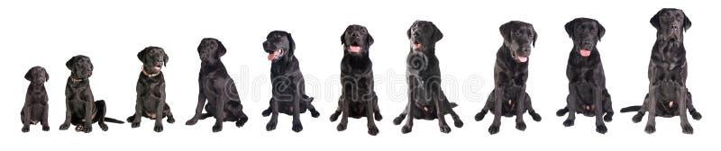 Crescimento preto de labrador retriever imagens de stock