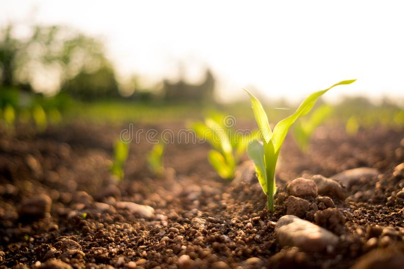 Crescimento saudável pequeno da planta de milho verde no campo no campo no por do sol na primavera imagem de stock
