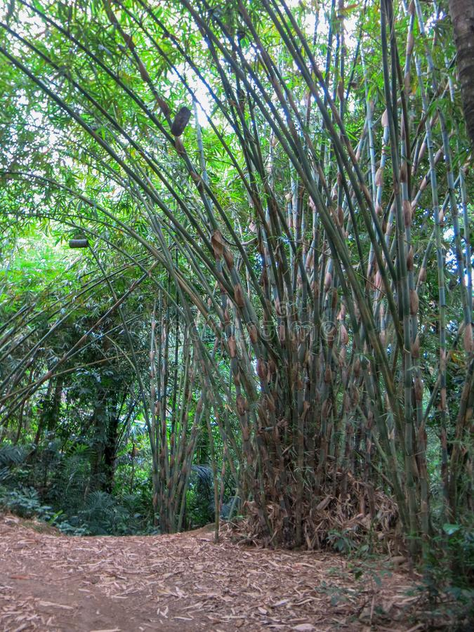 Crescimento selvagem de bambu na selva tropical Os troncos longos aumentam acima Colmeia da abelha feitas dos nomes de bambu que  imagem de stock royalty free