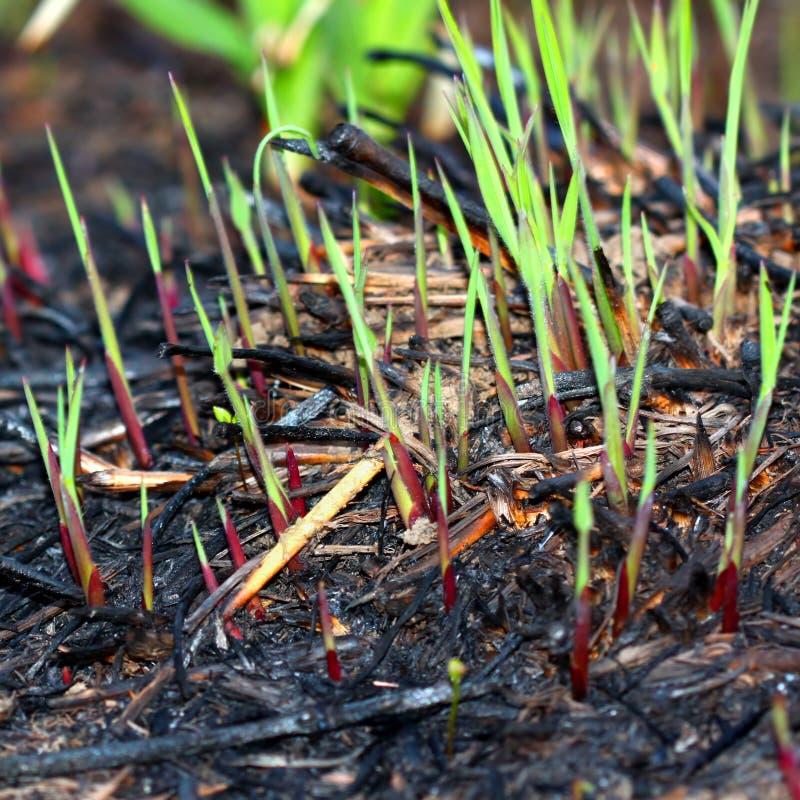 Crescimento vegetal após a queimadura da pradaria fotografia de stock