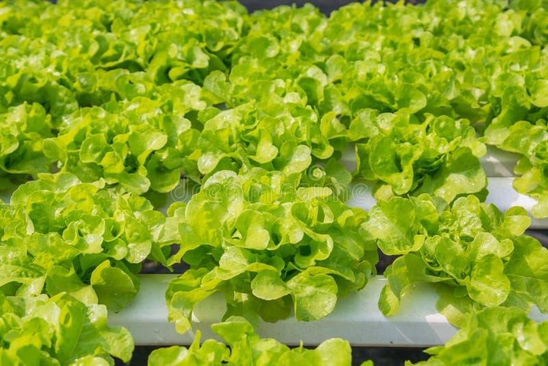 Crescimento vegetal da alface fresca da salada verde na tubulação plástica em H fotografia de stock