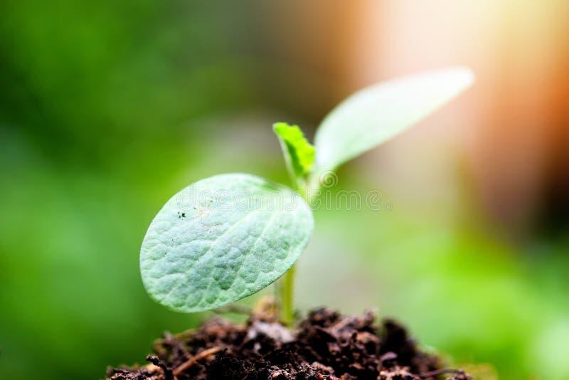 Crescimento vegetal novo no fundo verde neutro - crescimento de semeação da planta nova da agricultura no solo no jardim foto de stock