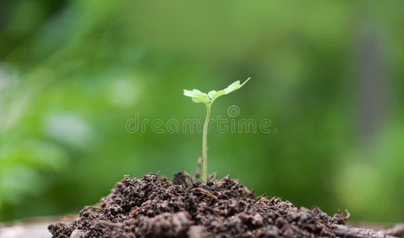 Crescimento vegetal novo no verde neutro com luz na manhã - crescimento de semeação da planta nova da agricultura no solo no jard fotografia de stock