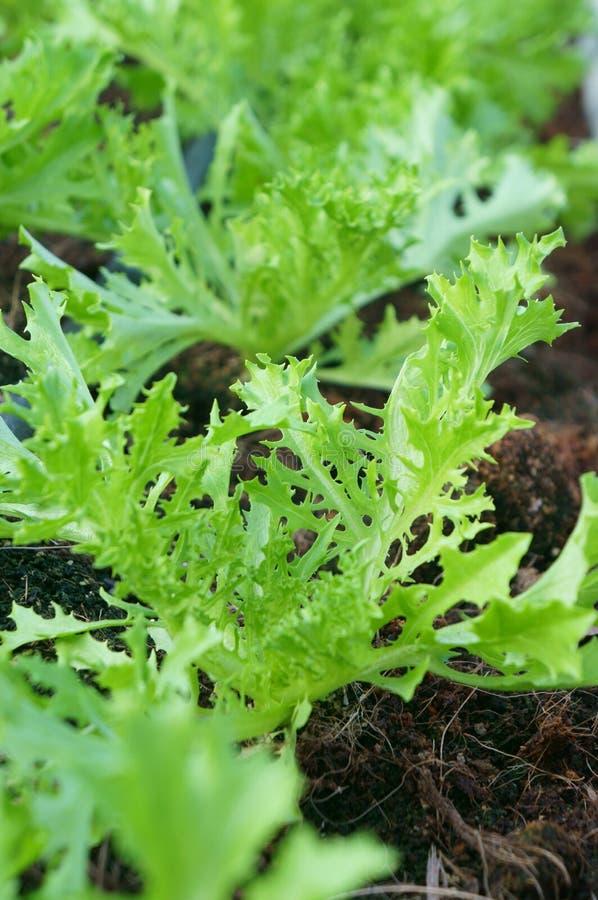 Crescimento vegetal orgânico verde de salada de Mizuna foto de stock