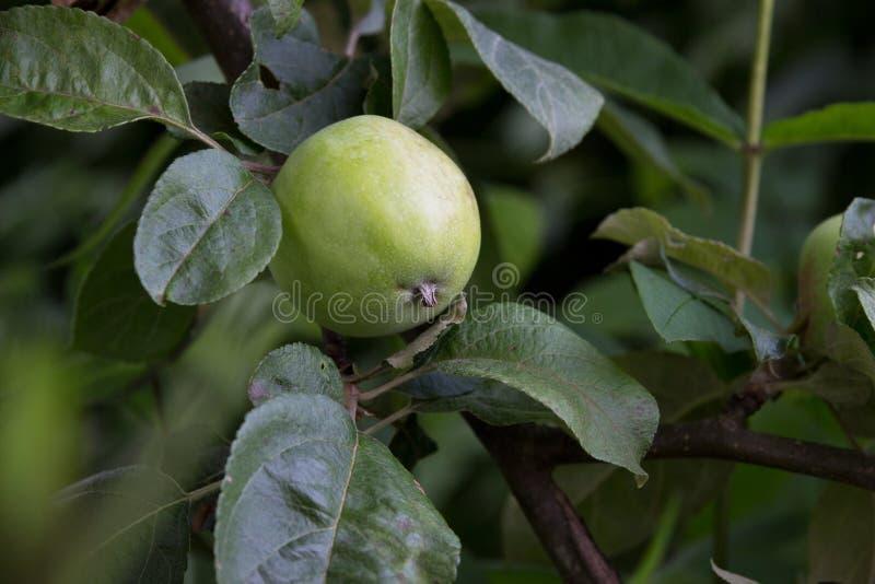 Crescimento verde das maçãs imagens de stock