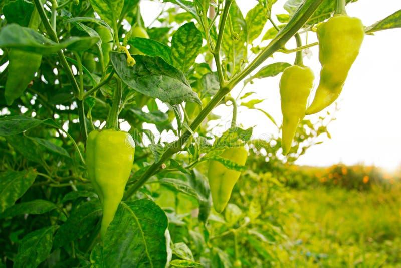 Crescimento verde das pimentas doces foto de stock