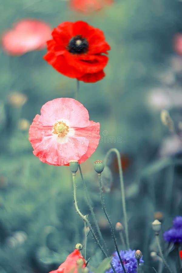 Crescimento vermelho e cor-de-rosa da papoila dois brilhante em um prado imagem de stock