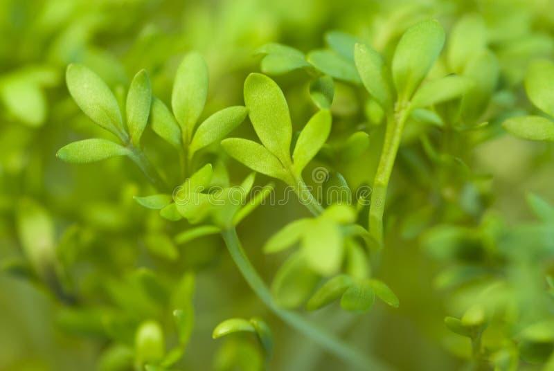 Crescione di giardino immagine stock