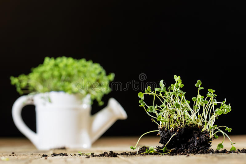 Crescione fresco dei germogli Terra nera Tabella di legno Vaso da fiori in Th immagine stock