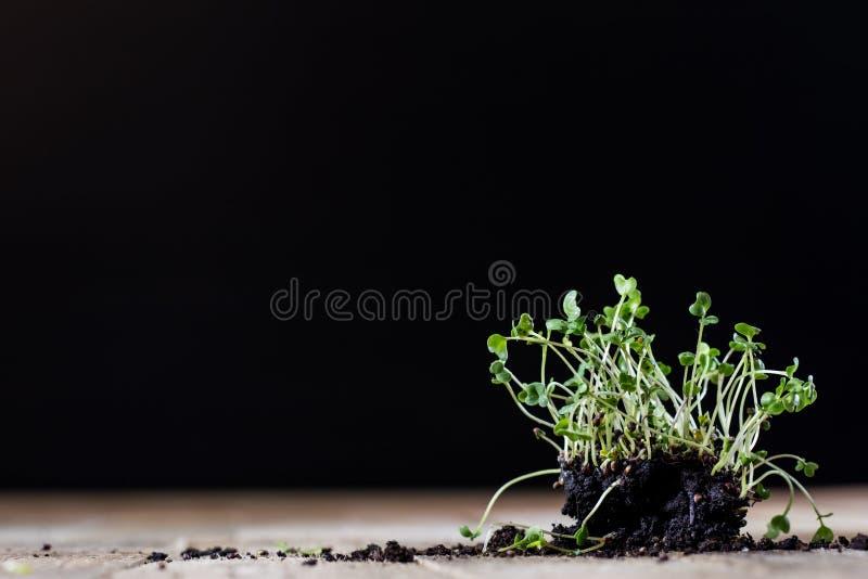 Crescione fresco dei germogli Terra nera Tabella di legno Vaso da fiori in Th fotografia stock