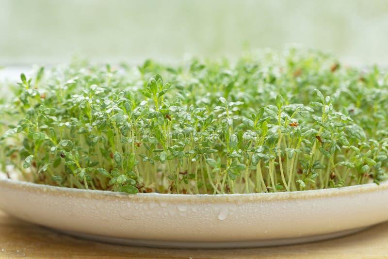 Crescione fresco sulla tavola di legno Micro verdi crescenti Germogliare Cress Salad Seeds Fuoco selettivo fotografia stock libera da diritti