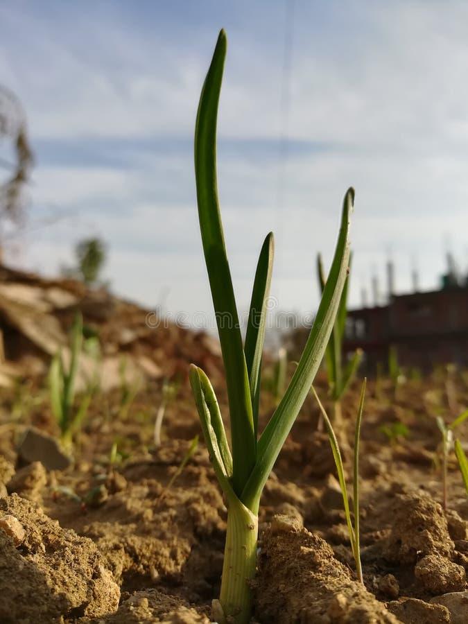 Crescita del grano immagini stock
