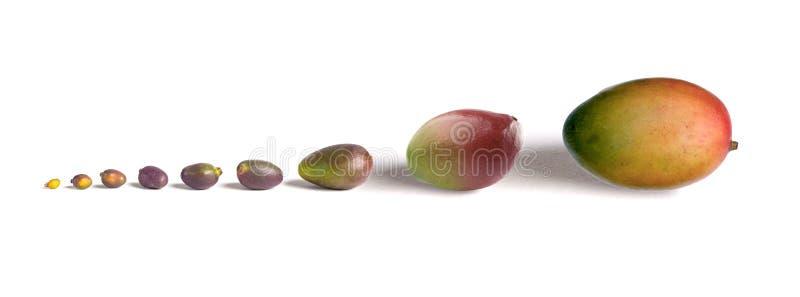 Crescita del mango immagini stock