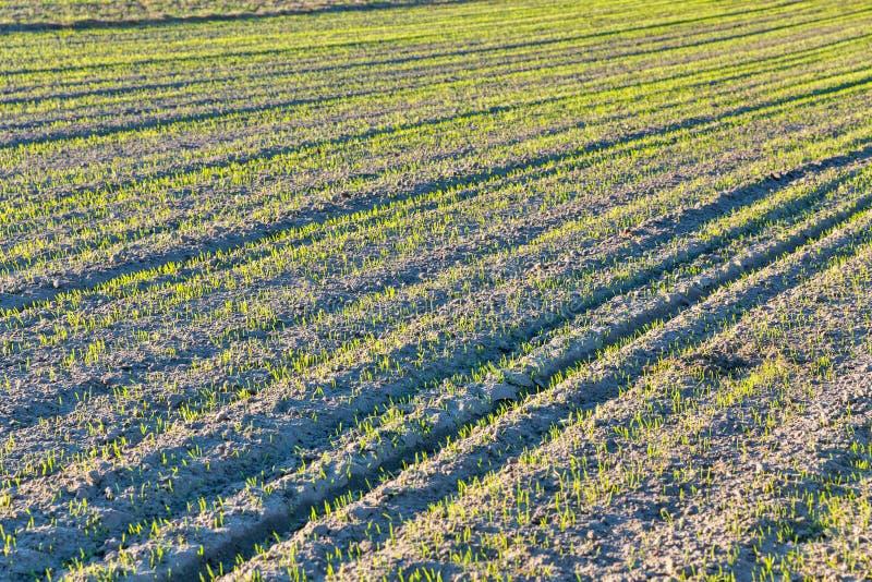 Crescita del raccolto di inverno sul campo fotografia stock libera da diritti