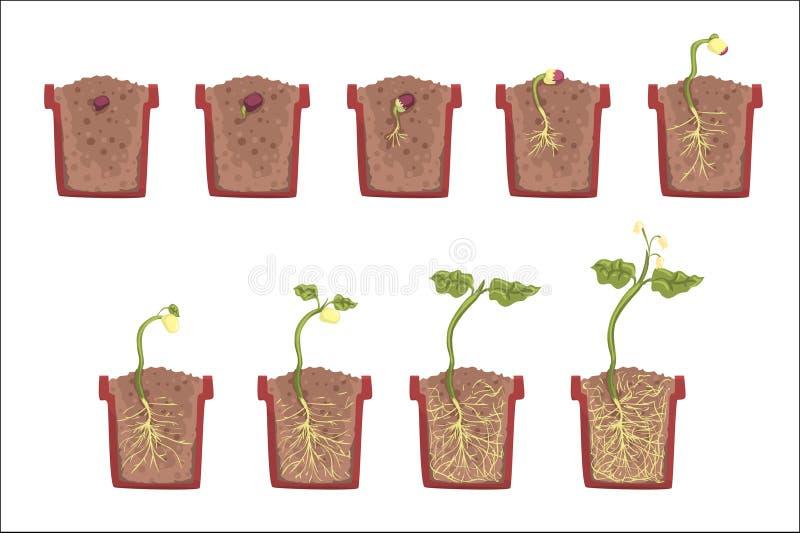 Crescita del seme della pianta, sviluppo e radicazione dentro il vaso di fiore, manuale classico Infographic educativo di botanic illustrazione di stock