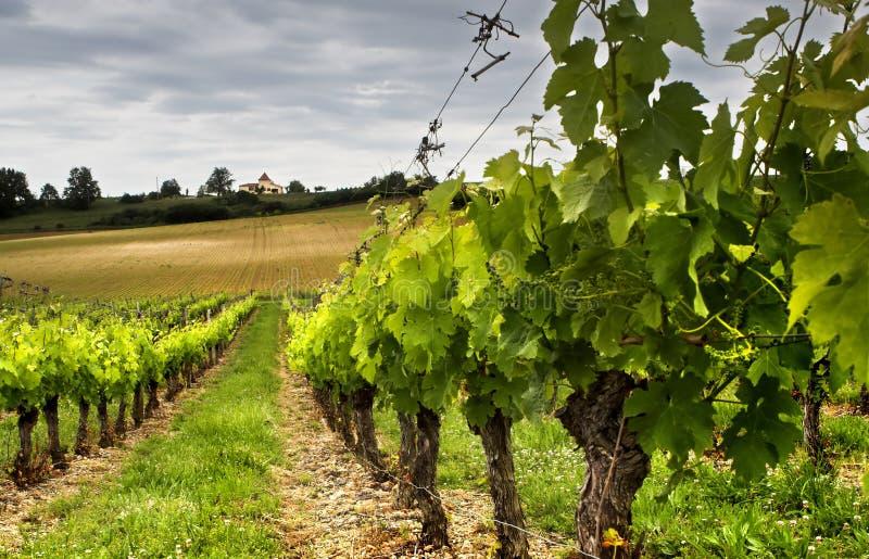 Crescita dell'uva fotografia stock libera da diritti