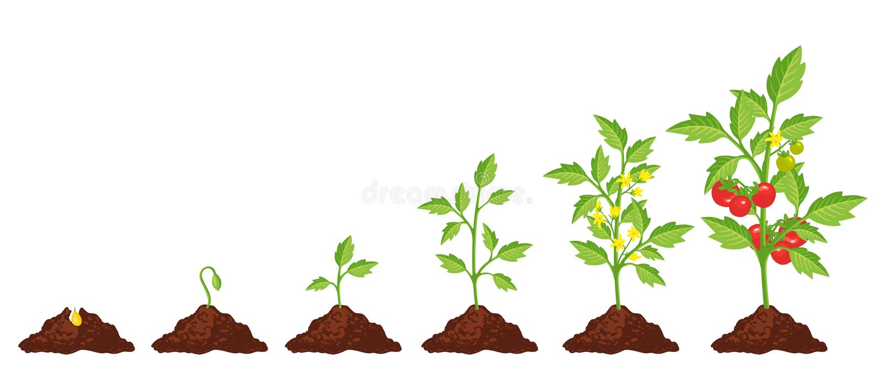 Crescita della fase del pomodoro illustrazione vettoriale