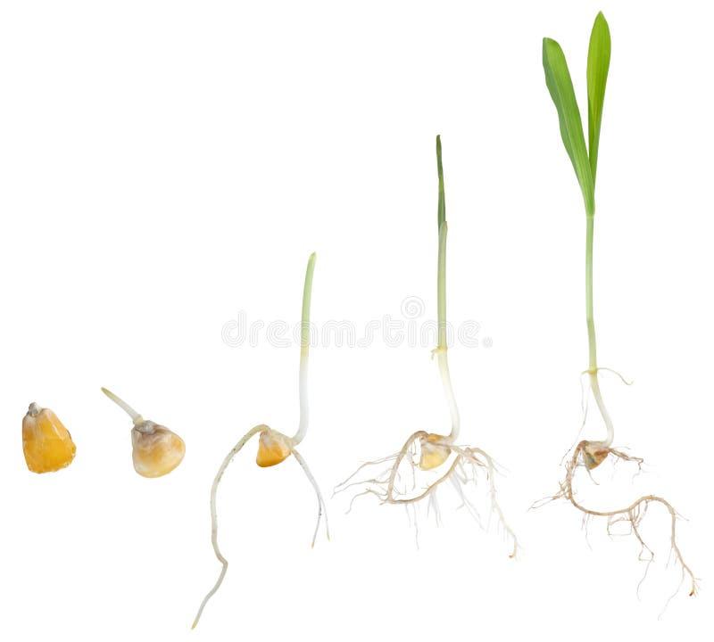 Crescita della pianta di cereale immagini stock