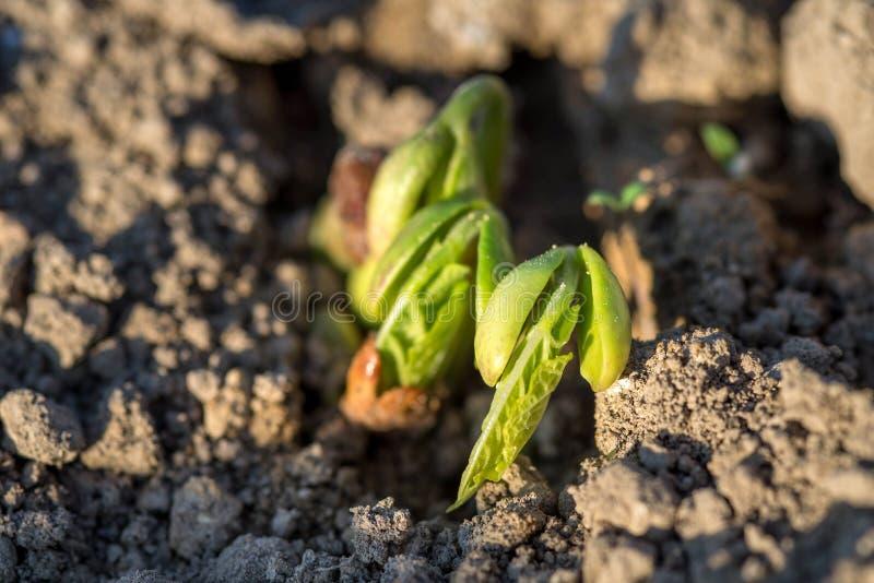 Crescita delle piantine del fagiolo, molla in anticipo fotografia stock