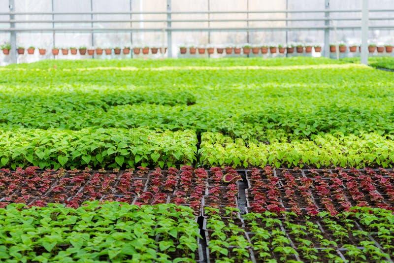 Crescita delle piantine delle piante ornamentali in scuola materna in serra moderna fotografie stock libere da diritti