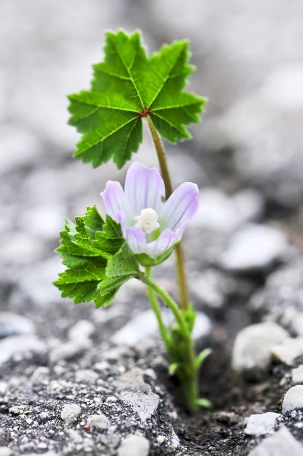 Crescita di fiore dalla crepa in asfalto immagini stock libere da diritti