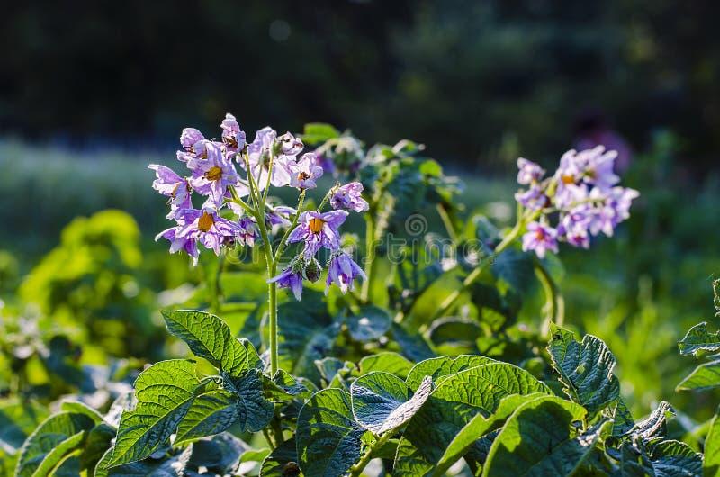 crescita di fiori della patata nel giardino immagini stock