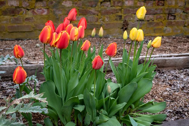Crescita di fiori della primavera in un giardino domestico, nei tulipani gialli e nei tulipani rossi e gialli, muro di mattoni ne fotografia stock