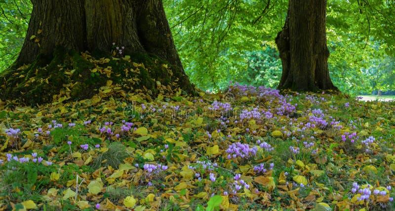 Crescita di fiori di ciclamino fra gli alberi fotografia stock