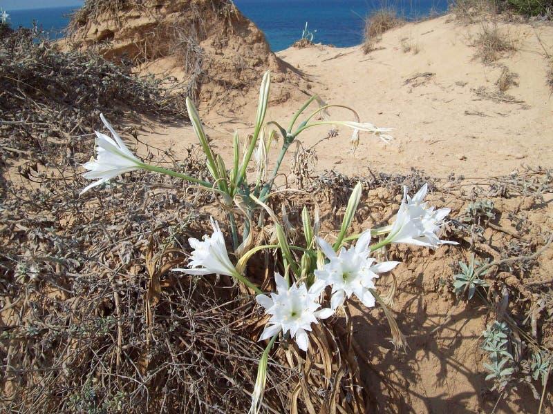 Crescita di fiori nella sabbia fotografie stock