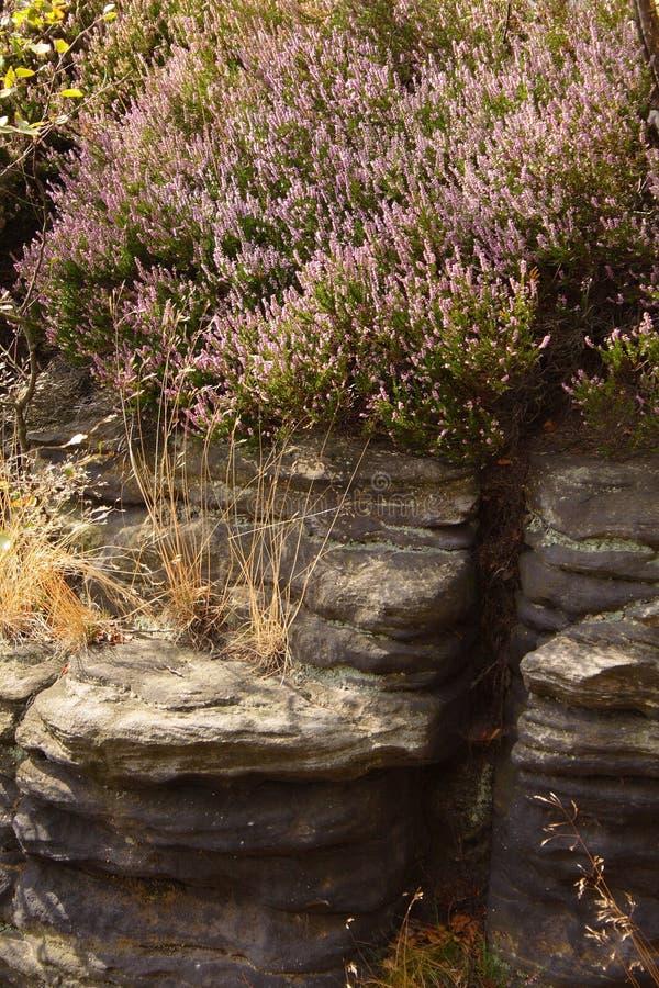 Crescita di fiori porpora sopra le rocce immagine stock