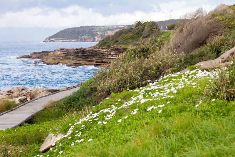 Crescita di fiori selvaggi dal lato del sentiero costiero sulla linea costiera del Nuovo Galles del Sud vicino alla baia d'acqua  fotografia stock libera da diritti