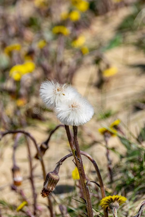Crescita di fiori selvaggi del dente di leone nell'ambiente arido asciutto delle dune di sabbia fotografia stock libera da diritti