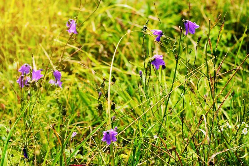 Crescita di fiori viola di rotundifolia della campanula della campanula sul prato soleggiato romantico verde Wildflowers in fiore fotografia stock