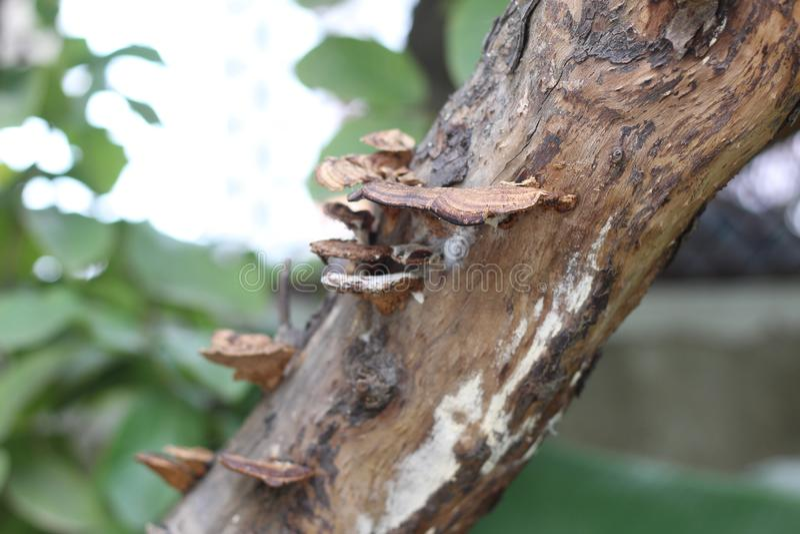 Crescita di fungo sul tronco di albero della guaiava immagine stock