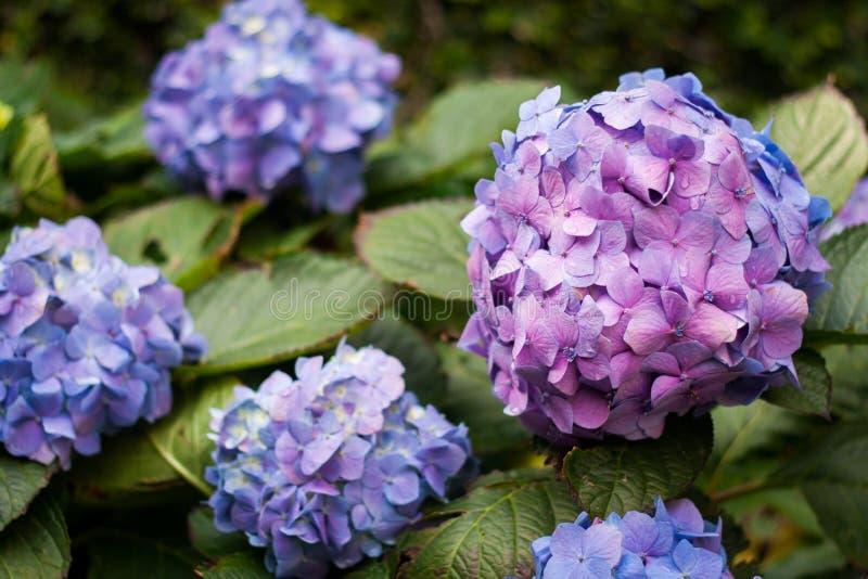 Crescita di molti fiori porpora dell'ortensia nel giardino, parte posteriore floreale immagine stock libera da diritti