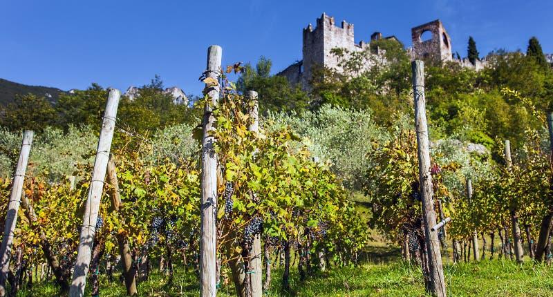 Crescita di vino a Castello di Avio Trento immagine stock