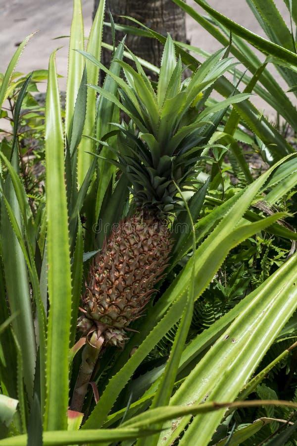 Crescita molto grande degli ananas fotografie stock libere da diritti