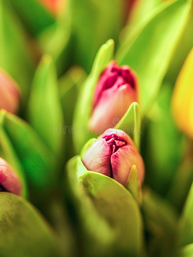 Crescita variopinta dei fiori dei tulipani del primo piano in molla fresca a luce solare calda di festa nell'azienda agricola immagini stock