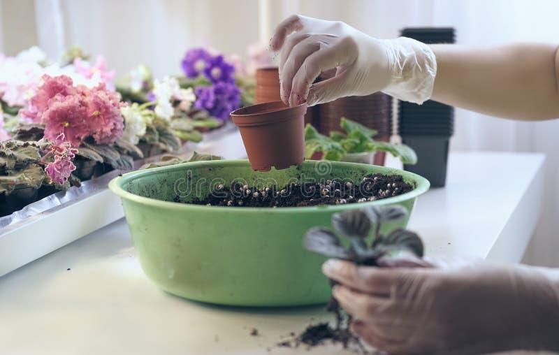 Crescita viola come svilupparsi viola Il fiorista tiene il piccolo vaso al fiore di trapianto Crescita viola come svilupparsi fotografia stock libera da diritti