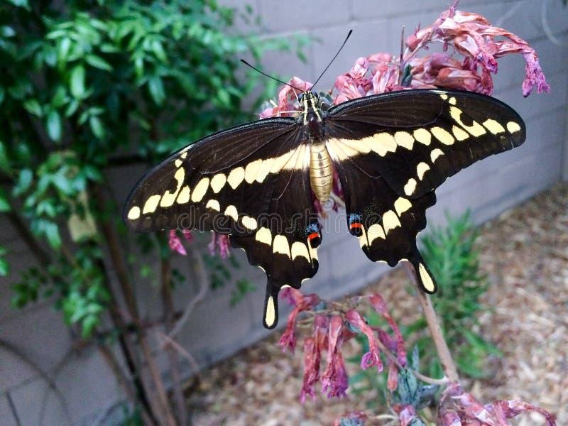 Cresphontes gigantes de Papilio de la mariposa del swallowtail foto de archivo libre de regalías