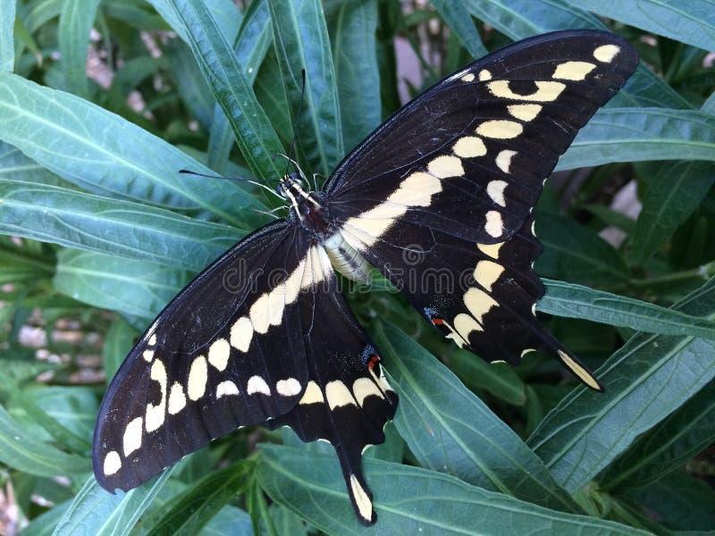 Cresphontes gigantes de Papilio de la mariposa del swallowtail fotos de archivo libres de regalías