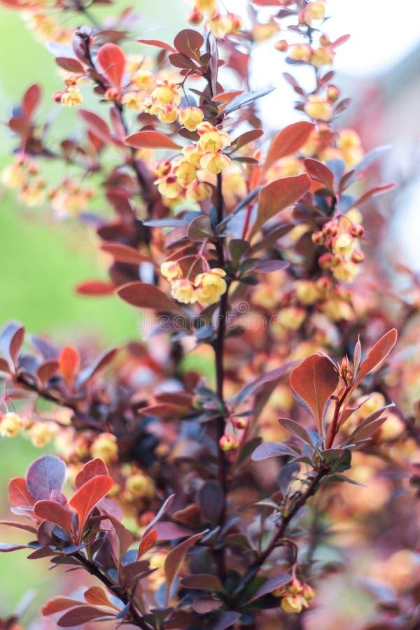 Fiori Gialli Borgogna.Arbusto Con Le Foglie Di Borgogna Ed I Fiori Gialli Fotografia