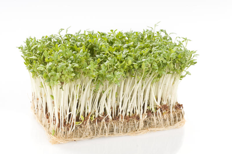 Cress over white royalty free stock image
