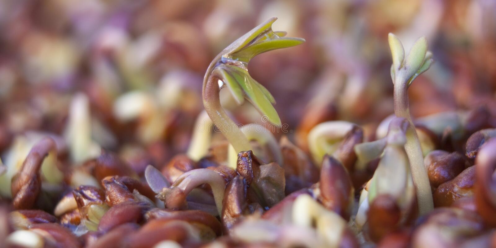 Cress sprouts royalty free stock photography