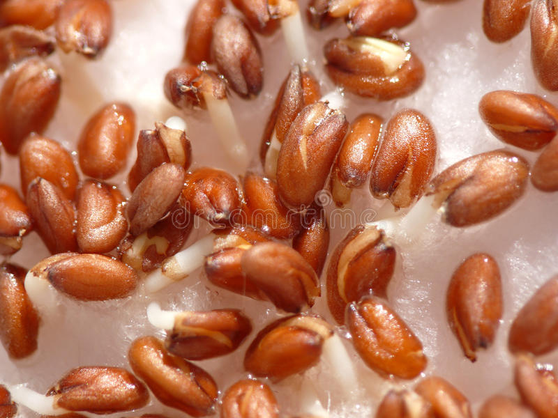 Cress sprouts growing. Close up royalty free stock photo