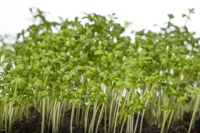 Cress sprouts Lepidium sativum royalty free stock photography